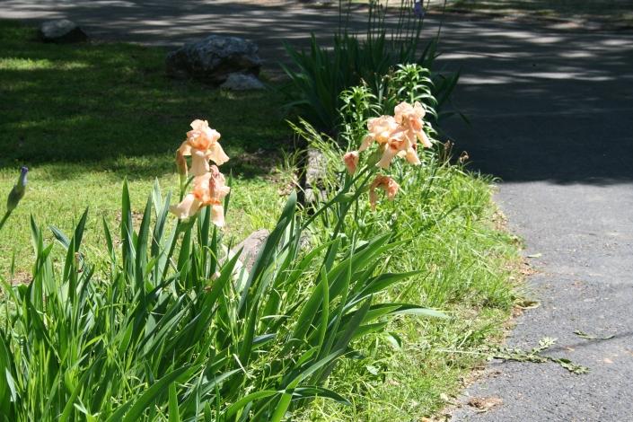 Peach Irises Copyright 2015 by R.A. Robbins